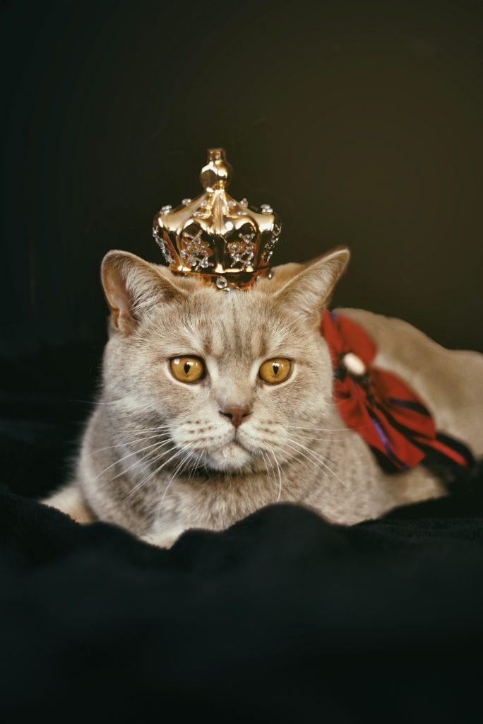 ¿Cuáles son las razas de gatos de mayor tamaño que existen en el mundo?